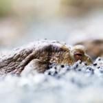 Amphibiens_052015-4