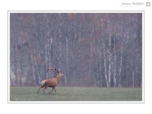 Photographie de cerf