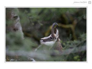 Photographie animalière, Chamois