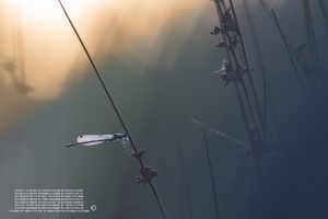 Libellule, photographie, jura suisse