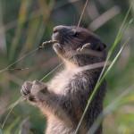 Marmots-16