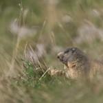 Marmotte_092015-1