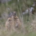 Marmotte_092015-2