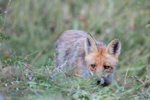 Photographie de renard